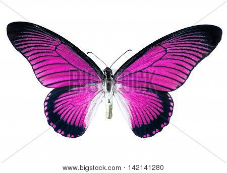 Pink butterfly with spread wings, isolated on white background