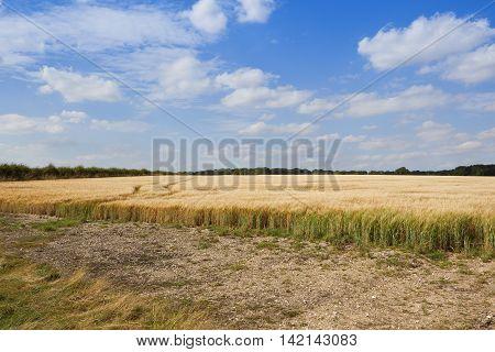 Golden Barley In Summer