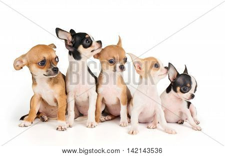 Five small puppies of Chihuahua isolated on white