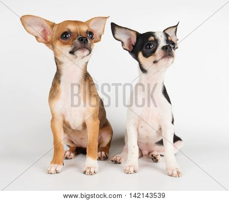Two amazing puppies of Chihuahua on white background