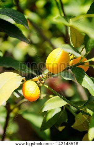 Kumquat tree, , color image, vertical image,