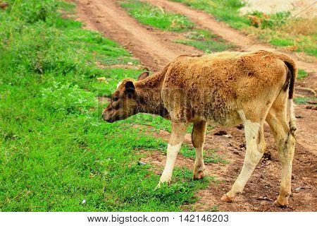 a young calf silly lagged behind the herd and is on the road and not know where to go to find their