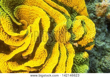 Coral reef with yellow turbinaria mesenterina at the bottom of tropical sea underwater