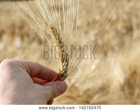 hand of the young farmer holds ripe yellow ear of wheat