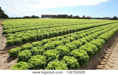 Field Of Green Lettuce Grown On Sandy Soil