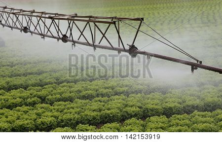 automatic irrigation system of a cultivated field of green lettuce in summer