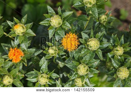 Safflower Garden Closeup