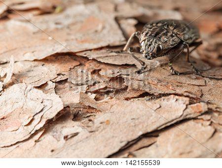 Big Beetle On Pine Bark