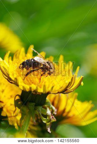Macro of honeybee (Apis mellifera) on dandelion flowers at spring meadow