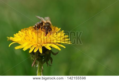 Macro of honeybee (Apis mellifera) pollinating dandelion at spring meadow