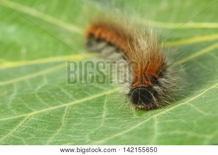 Furry Pest Caterpillar