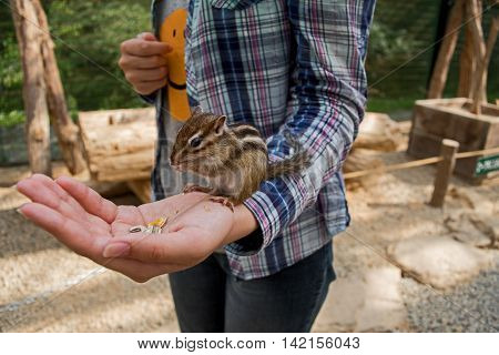 Chipmunk eating out of a persons' hand. Feeding Hungry Chipmunk