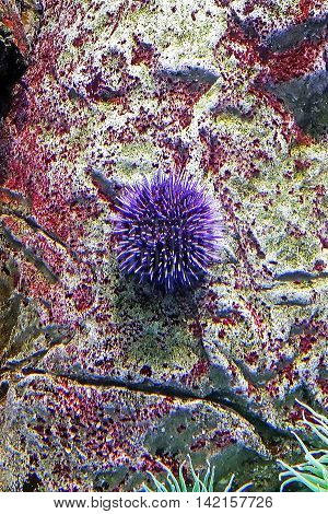 Beautiful photograph of one purple sea urchin on coral reef in the Lisbon Oceanarium, Portugal. Wild nature background. The underwater world. Echinius. Sea hedgehog. Actinia equina. Sea anemone.