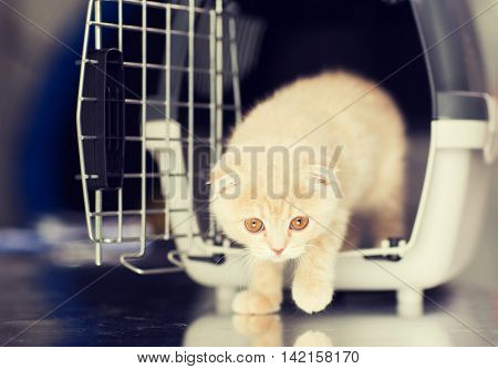 pets, animals and cats concept - close up of scottish fold kitten coming out of cat carrier box