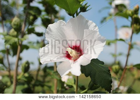 beautiful white flower of hibiscus petals and yellow center