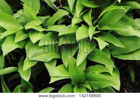 Wild Garlic Plant