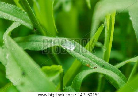 Picture of grass closeup with soft focus. Dew drops on green leaves of grass. Soft, selected focus