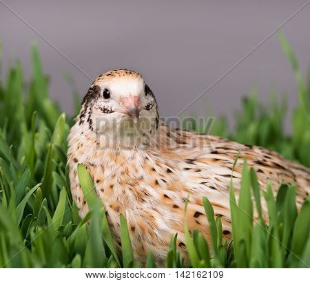 Cute adult quail in the green grass over grey background