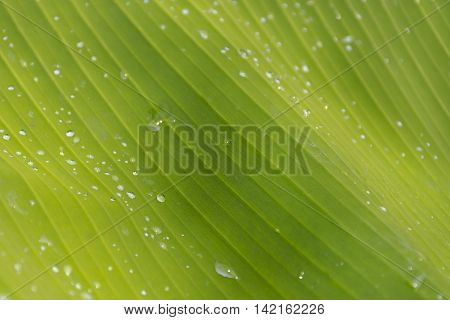 Fresh banana leaf suitable for background nature or background green  and leaf 01