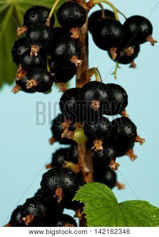 Tasty black currants on a branch over light-blue background
