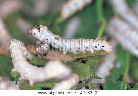 Silkworm larvae breeding