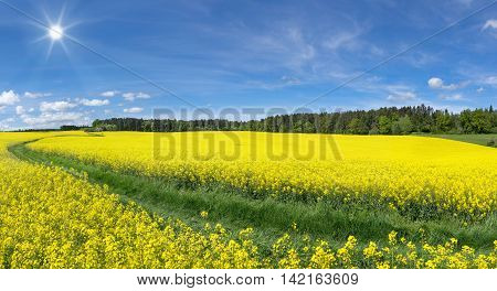 Yellow blooming rapeseed fields with meadow path and sun near an edge of the forest