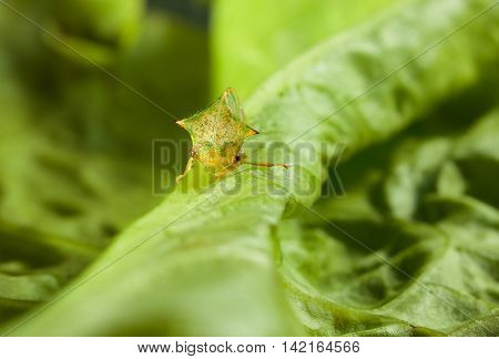 Cicada En Face On Lettuce Leaf