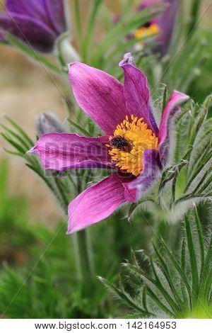Pasqueflower As Nice Flower