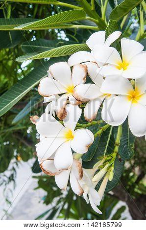 White Plumeria flower on the Plumeria tree