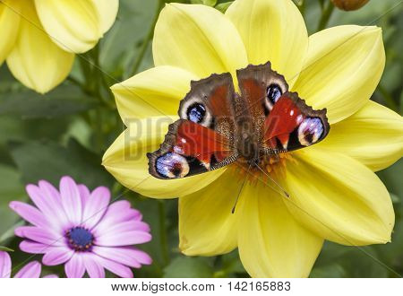 Big butterfly on a large yellow garden flower