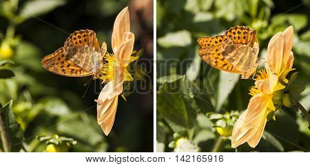 Closeup of a orange butterfly with black dots on wings stand on a yellow flower