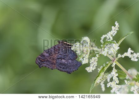 Black butterfly with big wings on a nettle plant