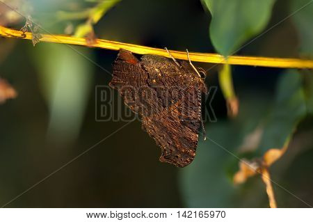 Closeup of a large brown butterfly hangs on a small tree branch at warm sunlight
