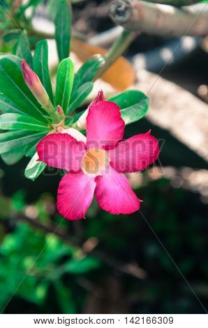 Pink of Desert Rose Flower Plants with beautiful colorful flowers