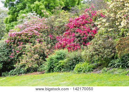 Red and Pink Rhododendrons in a garden