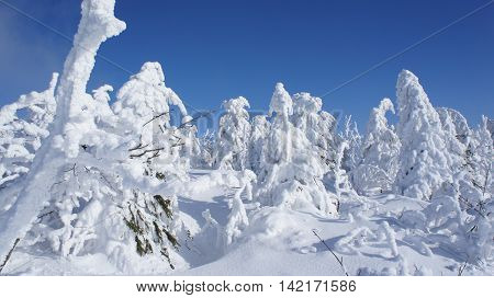 a winter wonderland on the Fichtelberg in the Ore Mountains in Saxony, Germany, thick snowy spruces and blue sky