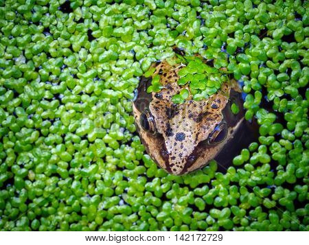 Frog in a pond with floating  green weed