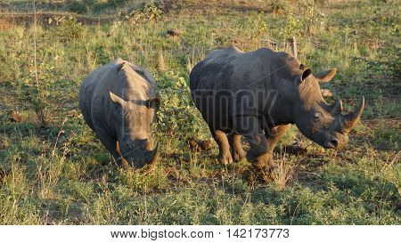 Two rhinos in the Kruger National Park in South Africa, on both animals sitting Red-billed Oxpecker