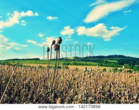Long Dry Stalk Of Poppy Seed. Evening Field Of Poppy Heads