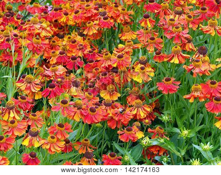 Flower bed of Helenium flowers and green leaves