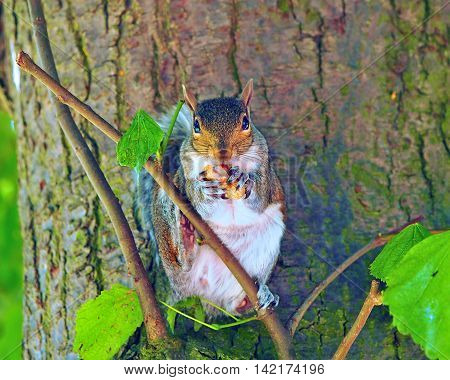 Squirrel in a tree eating a nut