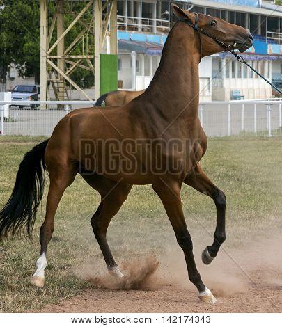 Closeup of horse refusing to go start.