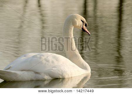 Swan on the lake at dusk