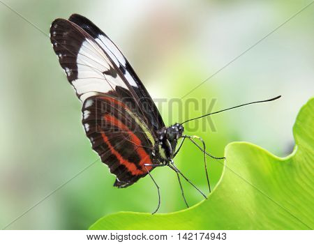 Multicolored butterfly sitting or resting on a tropical plant.