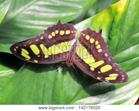 Green and brown butterfly sitting or resting on a tropical plant.