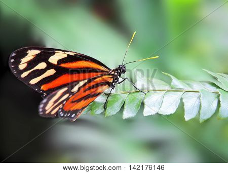 Orange butterfly resting on a tropical leaf
