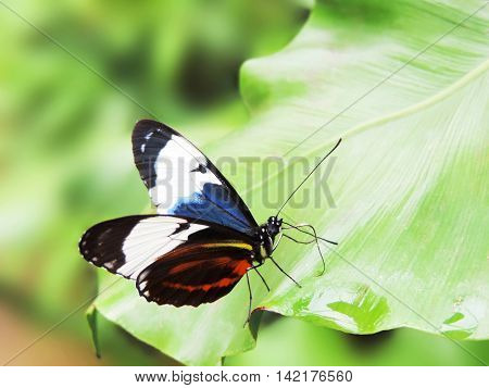 Multicolored butterfly, resting on a tropical plant