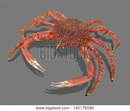 a european spider crab in grey back with shadow