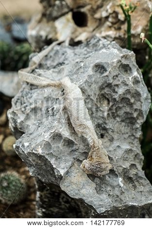 shedded snake skin which is left on the stone