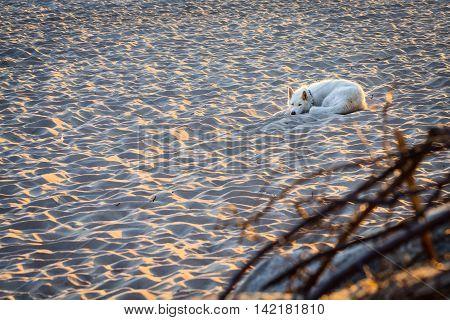 Stray white dog lying on the beach at sunrise light.
